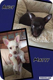 Chihuahua Mix Puppy for adoption in Scottsdale, Arizona - Matty