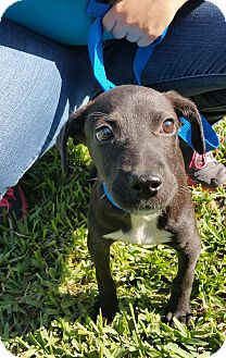 Retriever (Unknown Type)/Labrador Retriever Mix Puppy for adoption in Miami, Florida - cindy