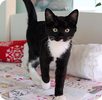 Domestic Shorthair Kitten for adoption in Lombard, Illinois - Rosie