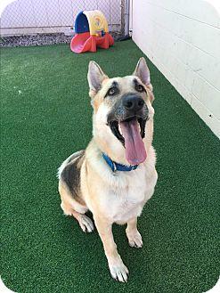 German Shepherd Dog Dog for adoption in Sacramento, California - Mac
