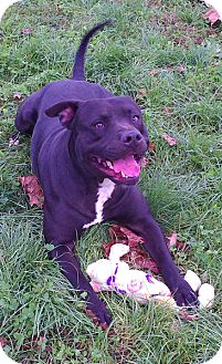 American Staffordshire Terrier Mix Dog for adoption in Metamora, Indiana - Simon