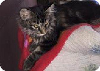 Domestic Longhair Cat for adoption in Sedalia, Missouri - Loki