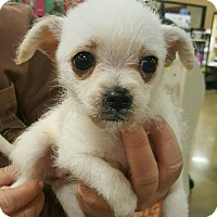 Adopt A Pet :: Lacey - Alhambra, CA