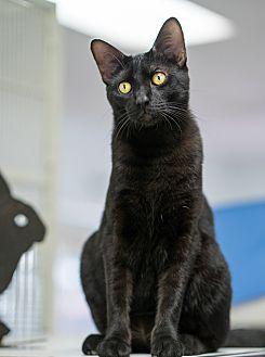 Domestic Shorthair Cat for adoption in Montclair, California - Moose