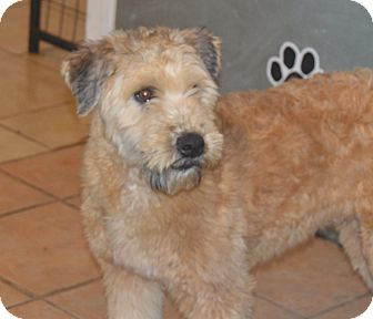 Wheaten Terrier Puppy for adoption in Prole, Iowa - Will Wheaten