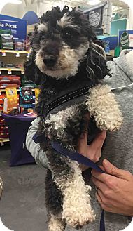 Poodle (Toy or Tea Cup) Dog for adoption in Loudonville, New York - Rocket