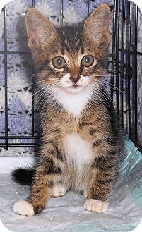 Domestic Shorthair Kitten for adoption in Parkton, North Carolina - Lucky