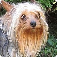 Adopt A Pet :: Yogi - Germantown, MD