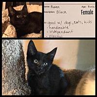 Adopt A Pet :: Vacaville Kitten: Raven - Napa, CA
