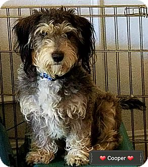 Terrier (Unknown Type, Small) Mix Dog for adoption in Phoenix, Arizona - Cooper