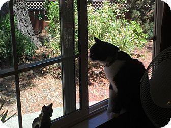 American Shorthair Cat for adoption in Walnut Creek, California - Galaxy