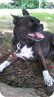 Pug/Boston Terrier Mix Dog for adoption in ROCKMART, Georgia - LING LING