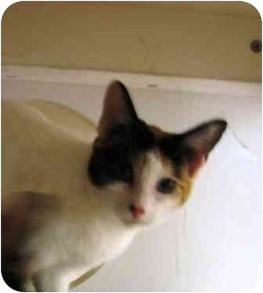 Domestic Mediumhair Cat for adoption in Sugar Land, Texas - Candy Kitten
