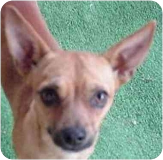 Chihuahua/Dachshund Mix Dog for adoption in Spring Valley, California - JESSIE