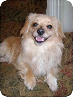 Pomeranian/Dachshund Mix Dog for adoption in Manahawkin, New Jersey - Petey