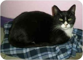 Domestic Shorthair Kitten for adoption in Medford, Massachusetts - Tux