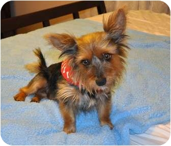 Silky Terrier/Yorkie, Yorkshire Terrier Mix Dog for adoption in Los Angeles, California - Fletcher