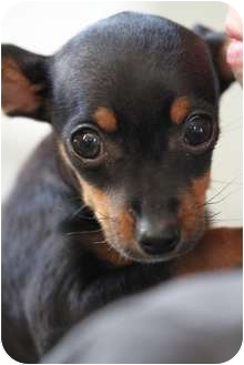 Chihuahua/Miniature Pinscher Mix Puppy for adoption in San Diego, California - Nibbles