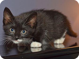 American Shorthair Kitten for adoption in Brooklyn, New York - Gigi