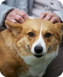 Welsh Corgi Dog for adoption in Mount Gretna, Pennsylvania - Diana