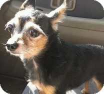 Yorkie, Yorkshire Terrier Mix Dog for adoption in St. Petersburg, Florida - Reese