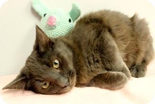 Russian Blue Cat for adoption in Gainesville, Florida - Pepsi