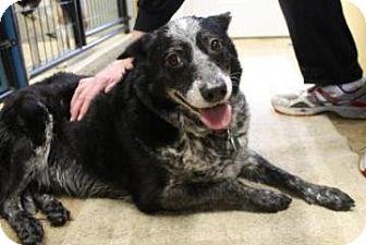 Australian Cattle Dog Mix Dog for adoption in West Des Moines, Iowa - Honey