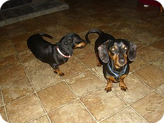 Dachshund Dog for adoption in Lawndale, North Carolina - Scootie and Dixie (bonded pair