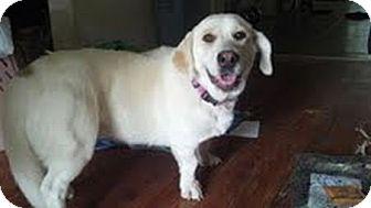 Labrador Retriever/Basset Hound Mix Dog for adoption in Homewood, Alabama - Tallulah