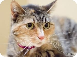 Domestic Shorthair Cat for adoption in Sacramento, California - Jewel