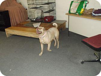 Shar Pei/American Staffordshire Terrier Mix Dog for adoption in Santa Clara, New Mexico - LayDee