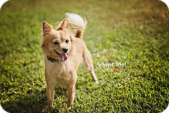 Chihuahua/Pomeranian Mix Dog for adoption in Fayetteville, North Carolina - Red