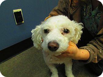 Poodle (Miniature) Mix Dog for adoption in Lloydminster, Alberta - Viktor
