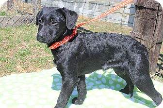 Labrador Retriever/Retriever (Unknown Type) Mix Puppy for adoption in Bedminster, New Jersey - Mulan