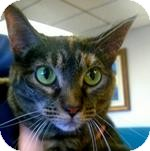 Domestic Shorthair Cat for adoption in Wheaton, Illinois - Ginger