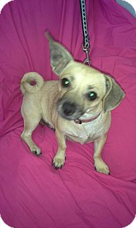 Dachshund/Chihuahua Mix Dog for adoption in Andalusia, Pennsylvania - Ivy