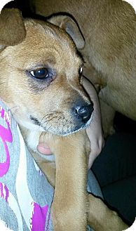 Boston Terrier Mix Puppy for adoption in Lexington, Kentucky - Chuck