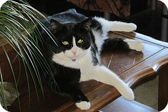 Domestic Shorthair Cat for adoption in Xenia, Ohio - Sophie