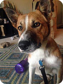 Border Collie Dog for adoption in Montague, Michigan - Ezra