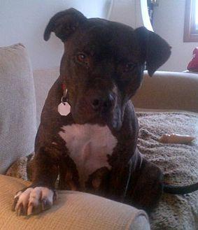 American Bulldog/American Staffordshire Terrier Mix Dog for adoption in Kimberton, Pennsylvania - ELIA