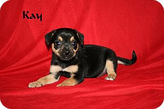 Jack Russell Terrier/Rat Terrier Mix Puppy for adoption in Green Cove Springs, Florida - Kay