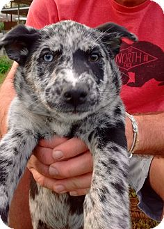 Catahoula Leopard Dog/Australian Shepherd Mix Puppy for adoption in San Francisco, California - Kacey