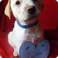 Adopt A Pet :: Gunner - Batesville, AR
