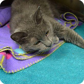 Domestic Shorthair Cat for adoption in Wheaton, Illinois - Jessie