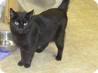 Domestic Shorthair Cat for adoption in Toledo, Ohio - Holiday