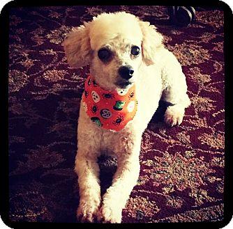 Poodle (Miniature) Dog for adoption in Grand Bay, Alabama - Evan