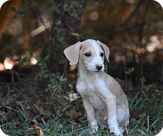 Beagle Mix Puppy for adoption in Groton, Massachusetts - Spanky
