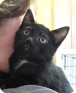 Domestic Shorthair Kitten for adoption in Reeds Spring, Missouri - Windy