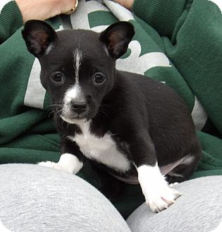 Chihuahua/Boston Terrier Mix Puppy for adoption in West Sand Lake, New York - Tipper (2.5 lb) Video!