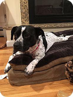 Cattle Dog Mix Dog for adoption in Bedford Hills, New York - Annie